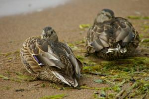 A pair of female mallards balled up on the shore fighting the winds.