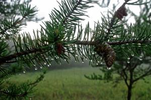 Late afternoon dew on the pines at the entrance to Itasca State Park