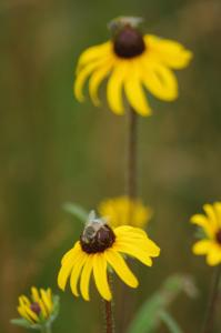 Flower Fly on a Black-Eyed Susan